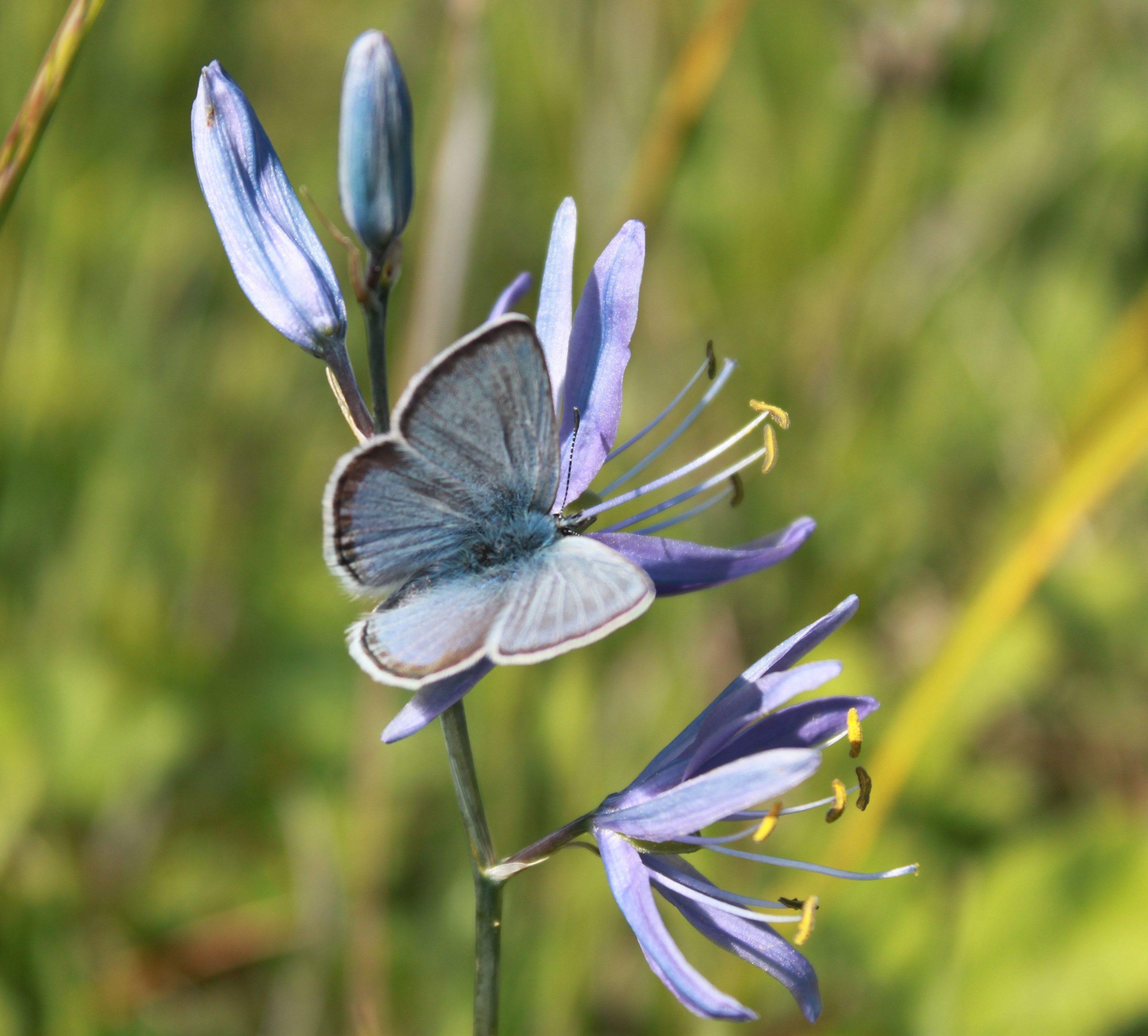 Fenders-blue-butterfly-on-Camas-e1477432978450