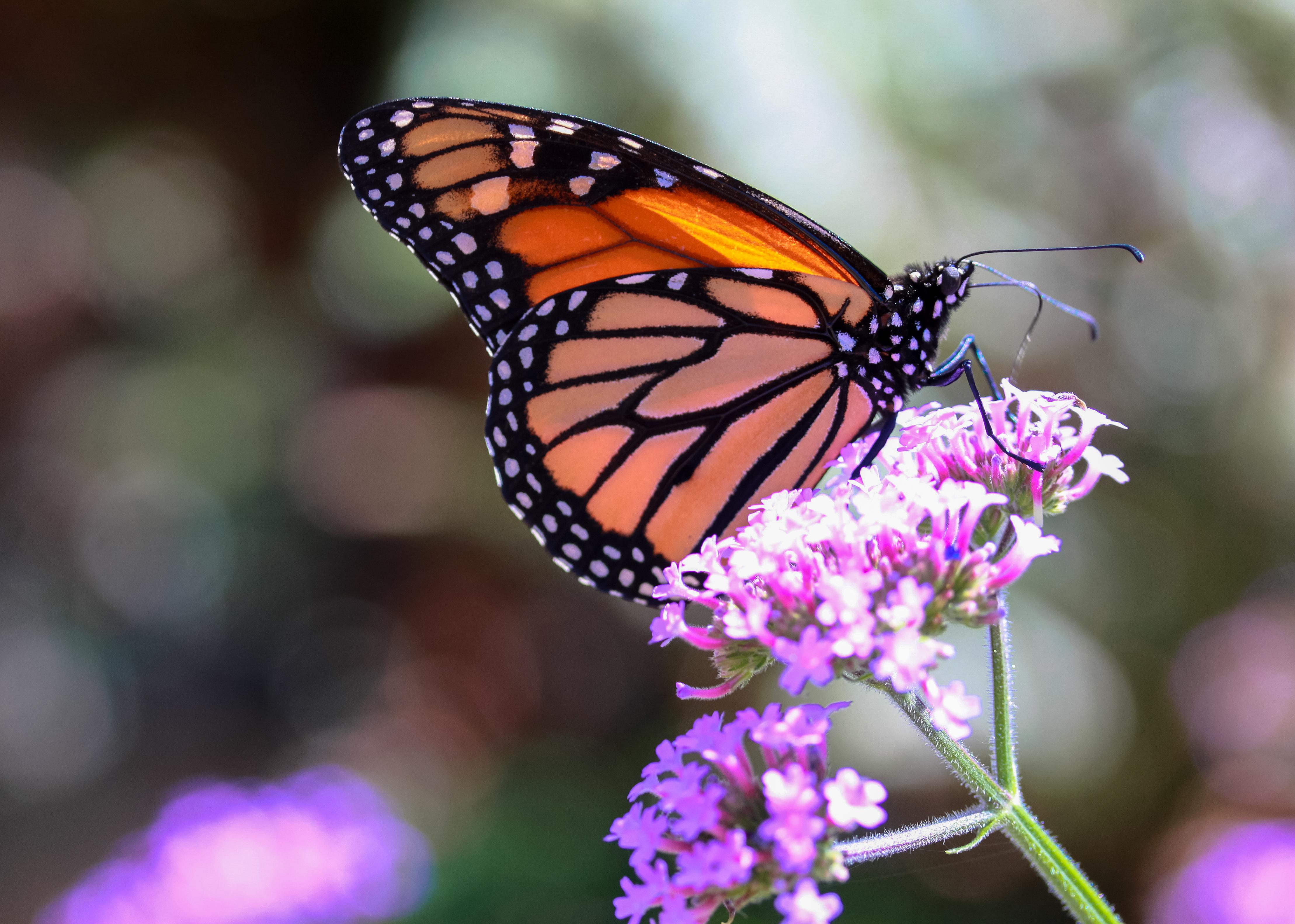 Monarch_at_Elkton4