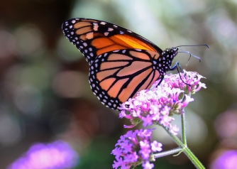 Monarch_at_Elkton4